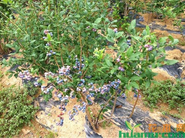 2019年蓝莓苗批发价格表,蓝莓苗哪个品种好?