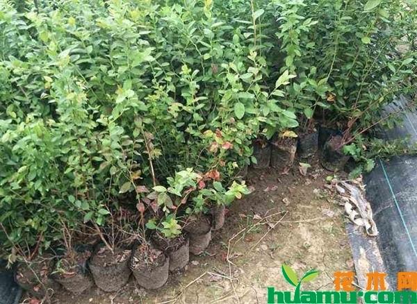 五年蓝莓苗多少钱一棵?蓝莓苗的培育方法有哪些?
