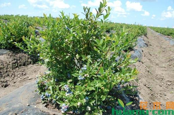 东北蓝莓苗多少钱一棵?移栽的蓝莓苗多久缓苗?