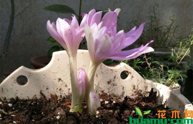 这几种植物秋季开花庭院芬芳,种上一棵就让你家花香四溢