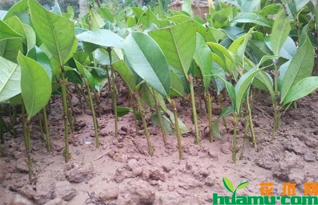 桂花秋季扦插盆栽方法