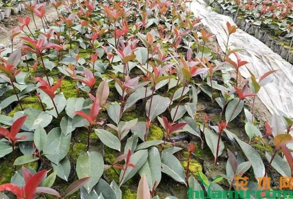 红叶石楠扦插苗多少钱一棵?红叶石楠扦插苗种植技术