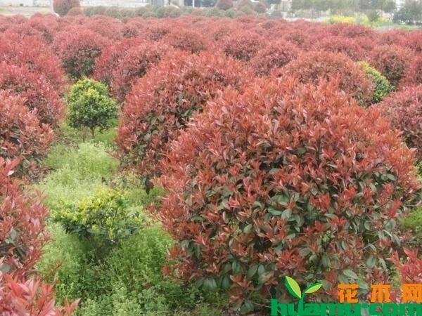 红叶石楠树价格多少钱一棵?红叶石楠修剪时间介绍