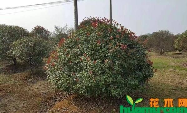 2019年最新红叶石楠小苗价格表,红叶石楠苗木病虫害防治方法介绍