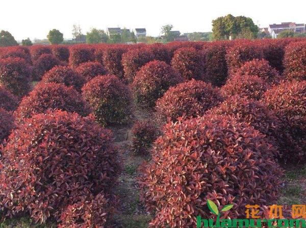 红叶石楠最新价格表,红叶石楠种植技术有哪些?
