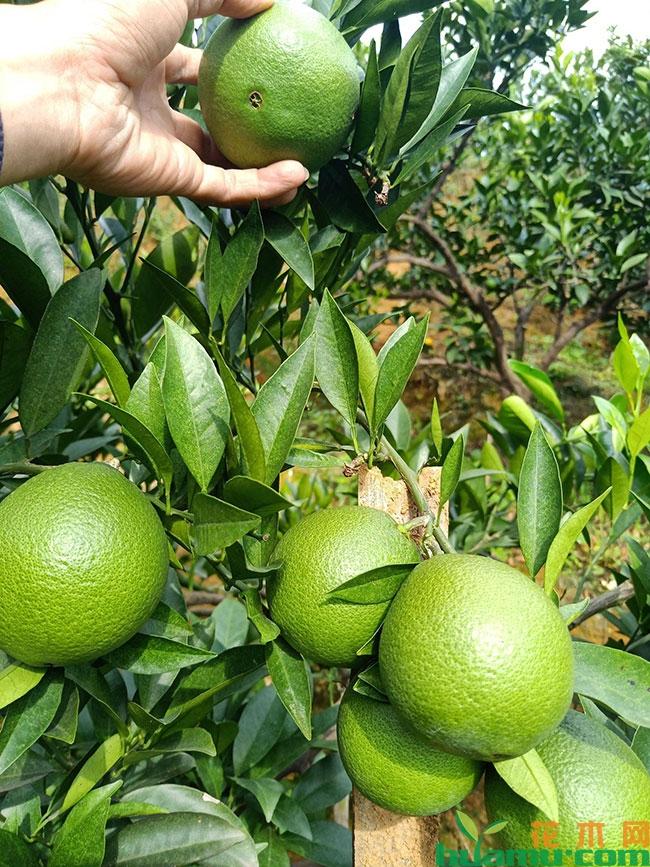 纽荷尔脐橙苗多少钱一棵?纽荷尔脐橙苗种植技术有哪些?