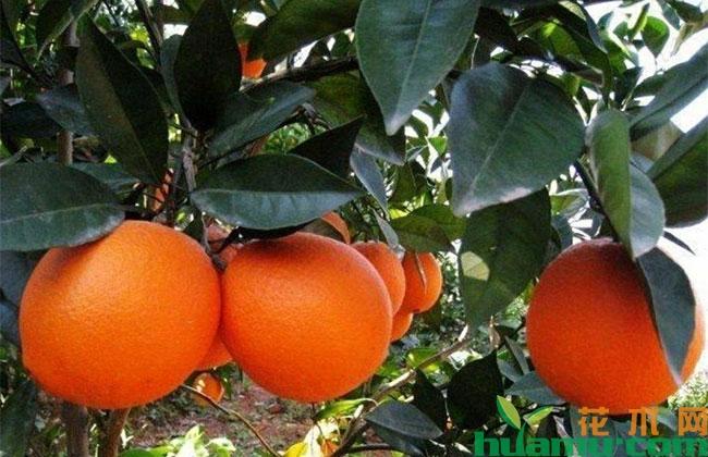 赣南脐橙几月份成熟?脐橙的功效与作用有哪些?
