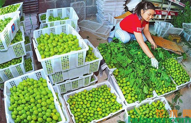 新疆全面提升林果产业综合生产能力和市场竞争力