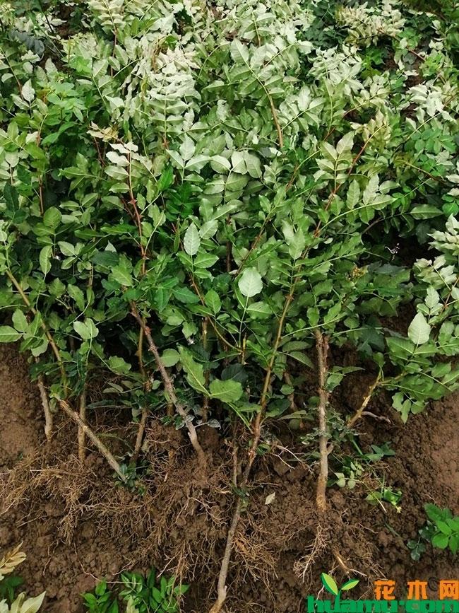 花椒树苗多少钱一棵?花椒树苗的种植方法
