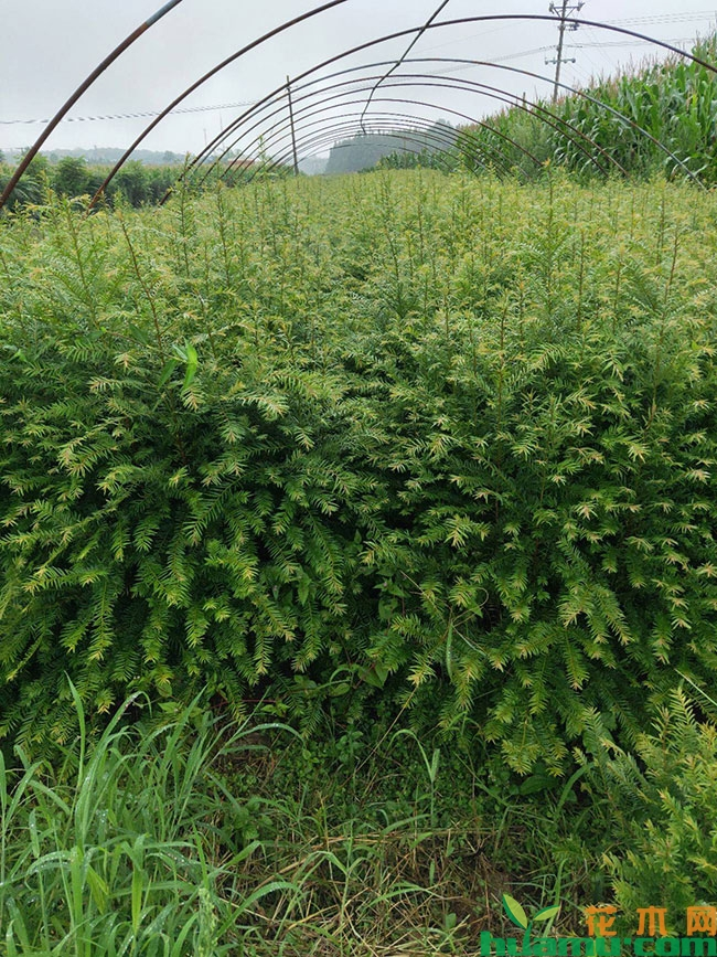 红豆杉苗多少钱一棵?红豆杉树怎么养殖?