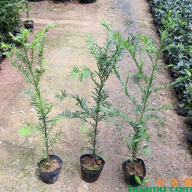 红豆杉树苗价格多少钱一棵?红豆杉种植方法和时间介绍