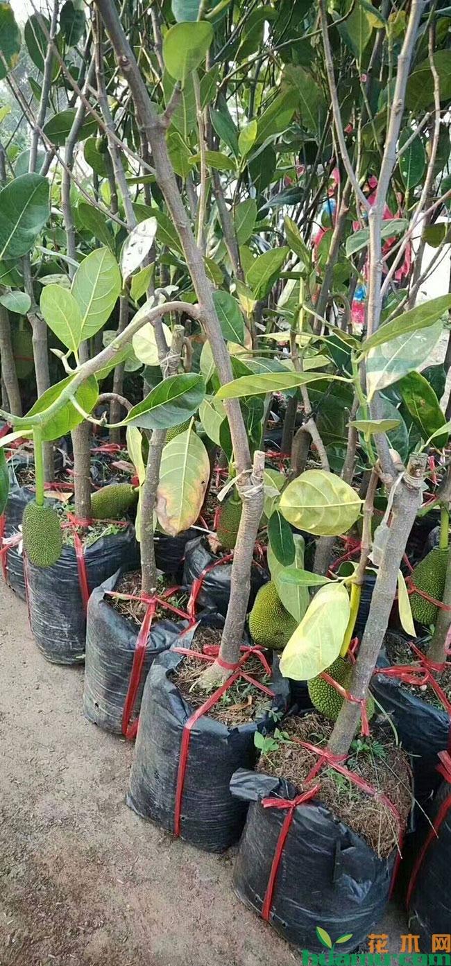 菠萝蜜苗多少钱一棵?菠萝蜜树苗生长条件有哪些?