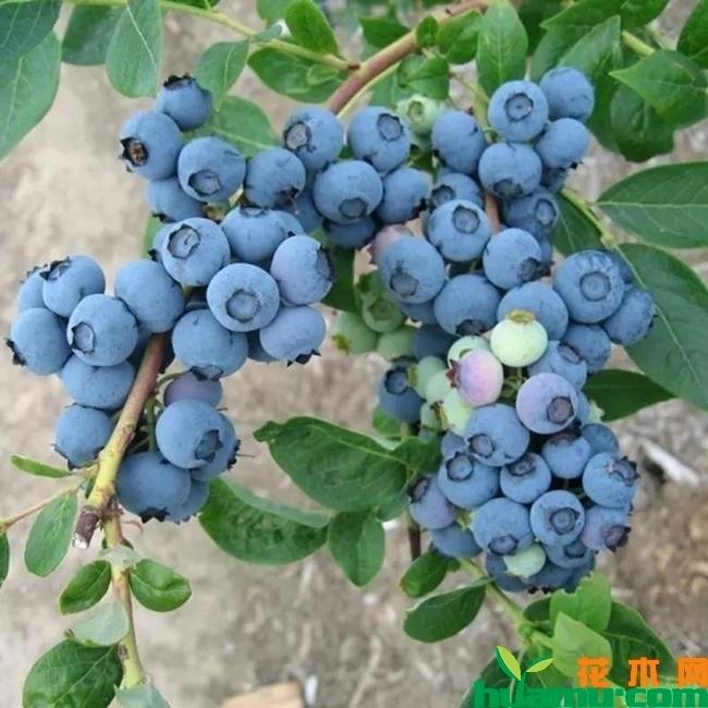 蓝莓苗实拍图片.jpg