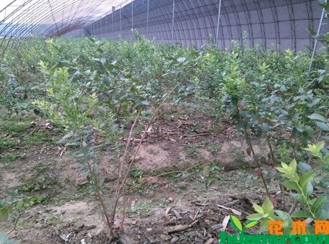 蓝莓苗图片.jpg