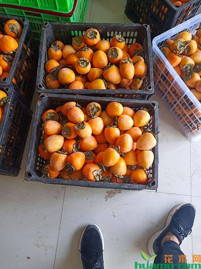 柿子的营养价值有哪些?柿子吃多了会怎么样?