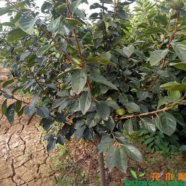 黑柿子苗价格多少钱一棵?黑柿子适合哪里种植?