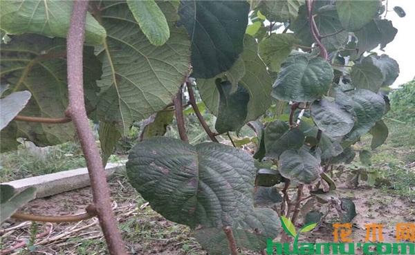 红心猕猴桃苗多少一株?红心猕猴桃种植技术有哪些?
