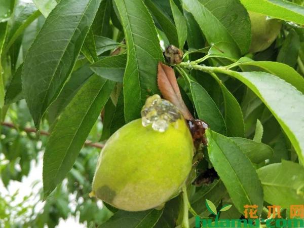 桃树常见病虫害有哪些?桃树病虫害防治方法介绍