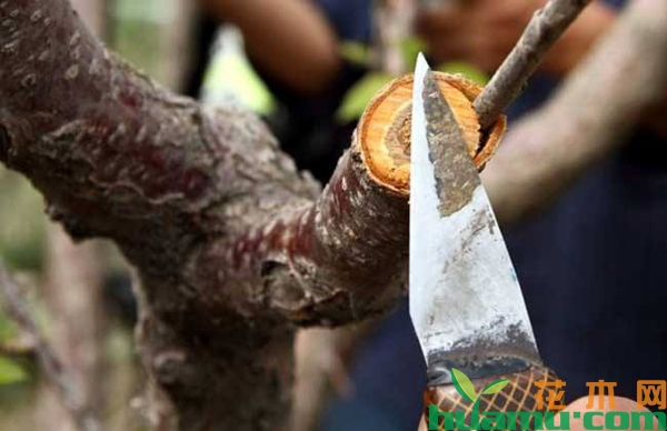 大桃树如何嫁接?大桃树嫁接时间和方法