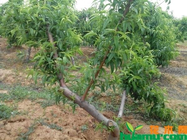 桃树如何管理?种植桃树管理方法
