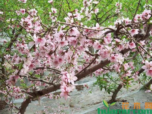 新栽的桃树怎么管理?桃树幼苗栽培管理技术