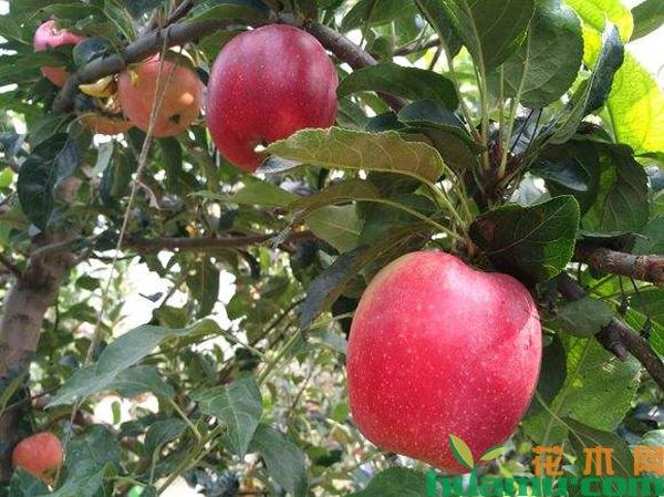 鲁丽苹果树苗多少钱一棵?鲁丽苹果栽培管理技术