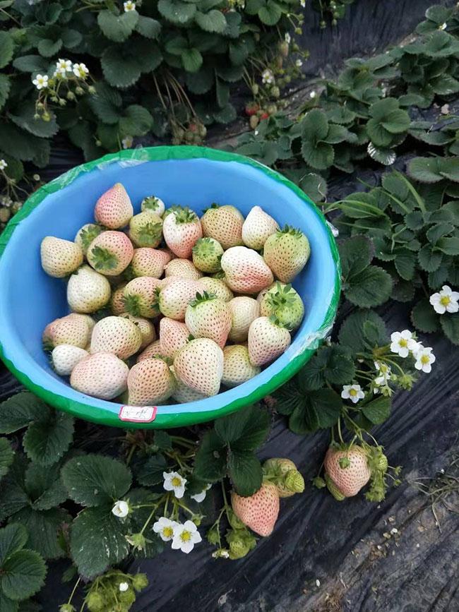 白草莓市场行情怎么样?白草莓种植前景如何?