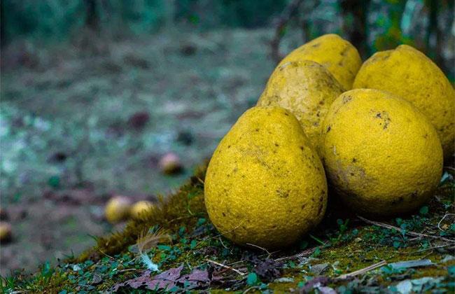 柚子成熟上市价格多少?柚子种植前景分析