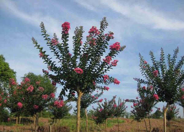 紫薇树多少钱一棵?紫薇树如何种植?