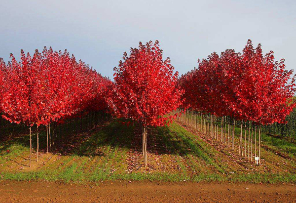 红枫树苗多少钱一棵?红枫幼苗养护方法介绍