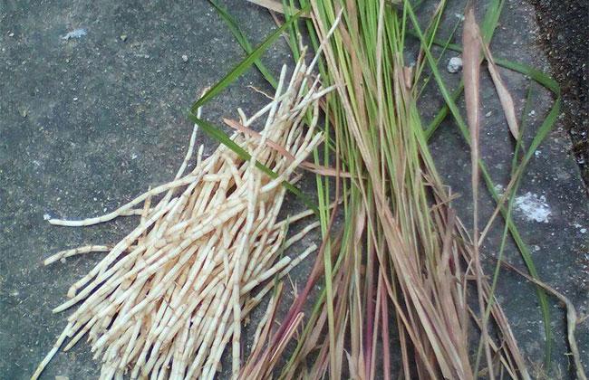 茅草种植前景,茅草的经济用途