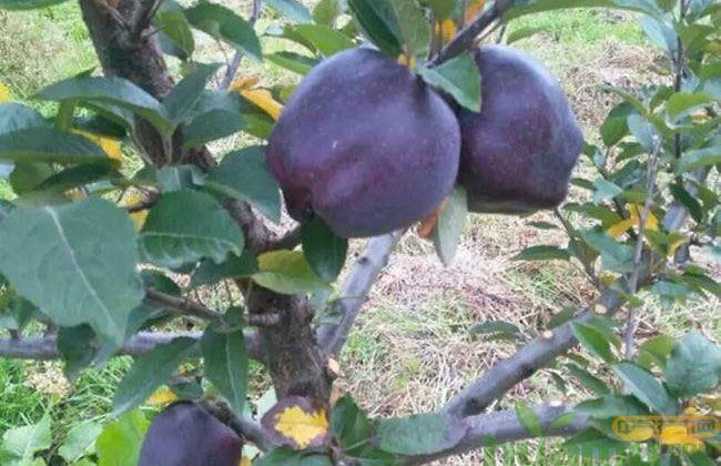 黑钻苹果一亩地产多少斤? 黑钻苹果苗种植经济效益如何?