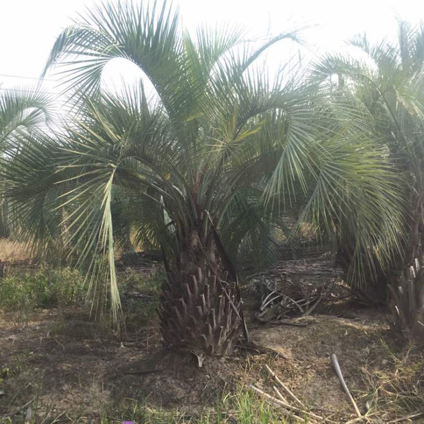 布迪椰子叶斑病防治方法