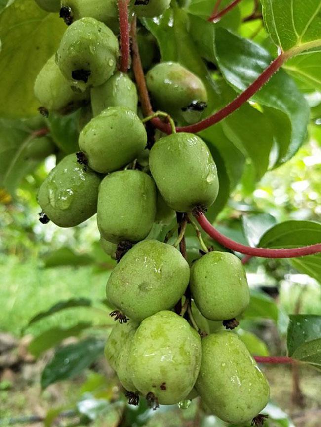 软子猕猴桃种植前景,软子猕猴桃多少钱一斤?