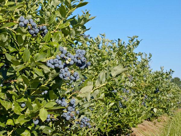 蓝莓树苗价格行情,2019年最新蓝莓苗基地批发报价