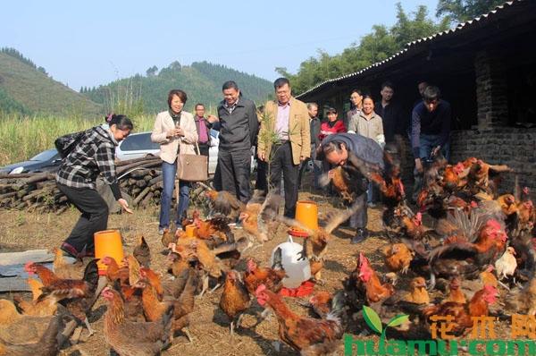 生态养鸡场