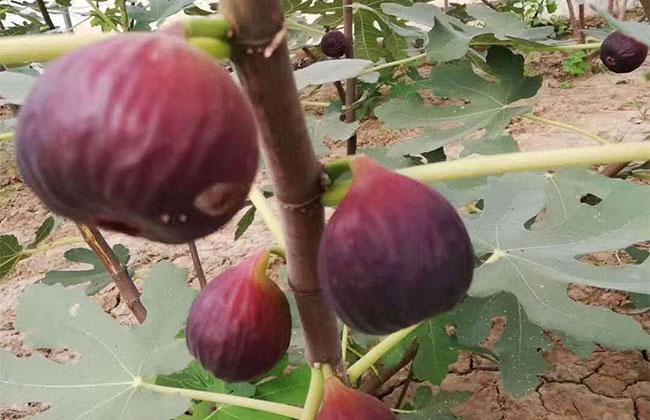 一棵果树上的果实有酸有甜?果实差异是什么原因导致的?