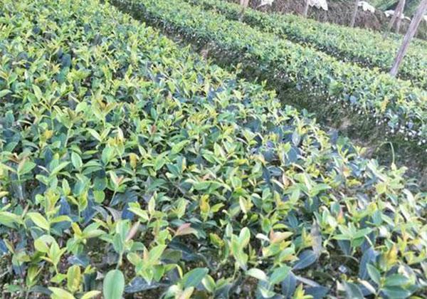一亩油茶一年赚多少