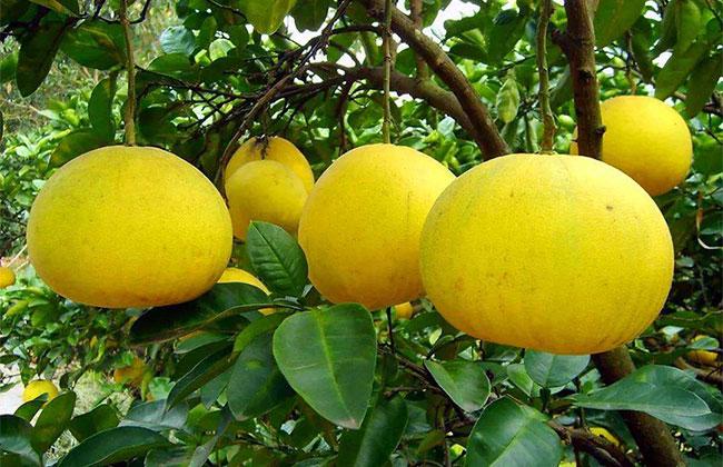 柚子市场行情如何?今年柚子收购价格多少钱?