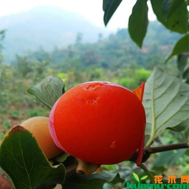 没成熟的柿子怎么催熟?哪种水果可以催熟柿子?