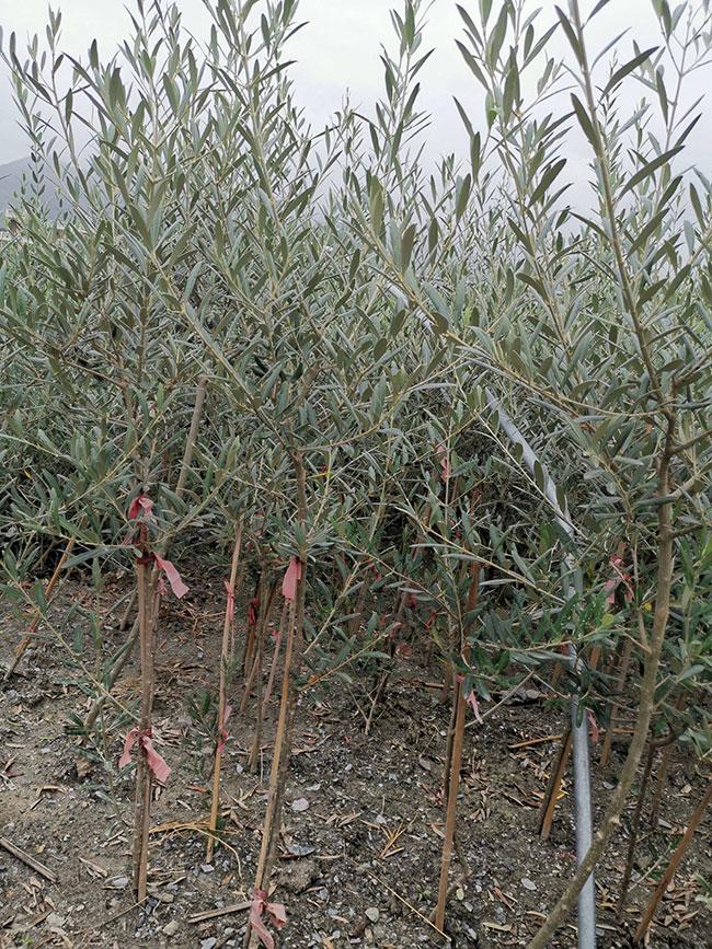 油橄榄树苗价格行情,2019年最新油橄榄苗基地批发报价