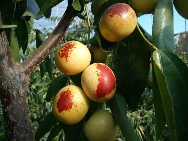 冬枣市场价格一直不低,但农民想种植却不挣钱