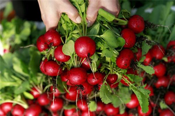 家里种植樱桃萝卜,一个月吃一茬!