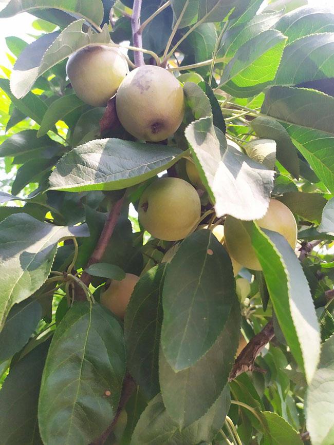 矮化苹果树苗价格行情,