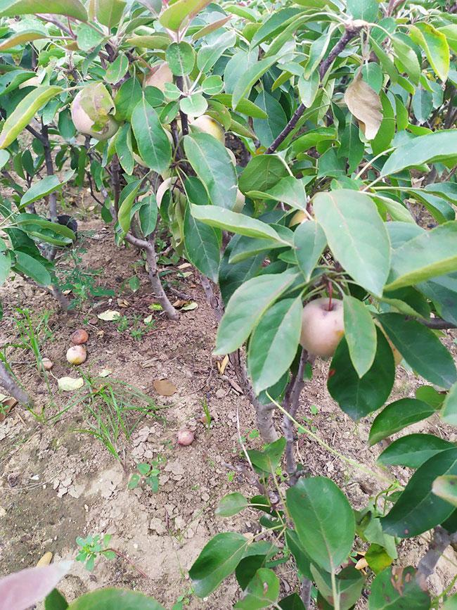 矮化苹果树苗价格行情,2019年最新矮化苹果苗基地批发报价