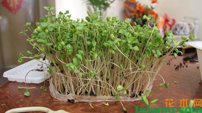 芽苗菜如何种植