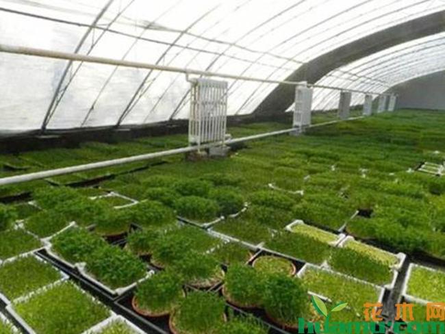 芽苗菜种植方法