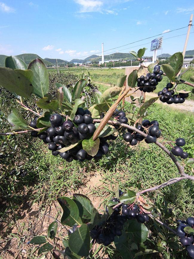 黑果花楸苗木批发哪里有?黑果花楸种植前景如何?