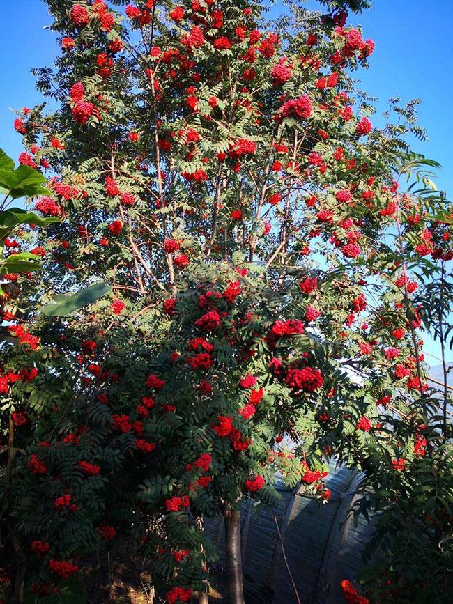 百花花楸树种子多少钱一斤?百花花秋种植前景怎么样?