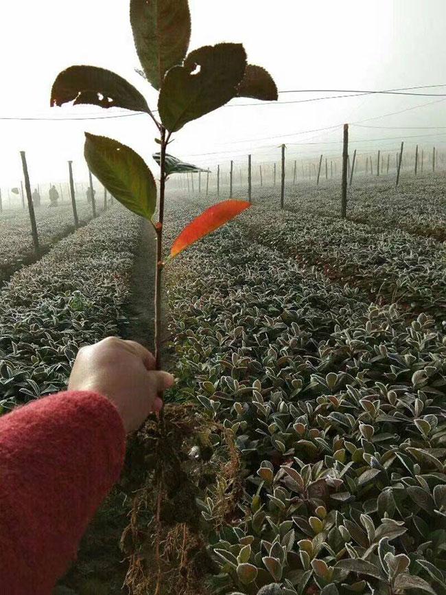 黑果花楸多少钱一斤?黑果花楸的十大功效有哪些?